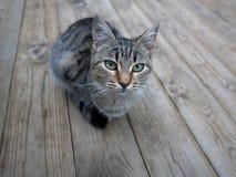 在木头的灰色猫 库存照片