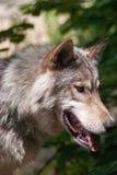 在木头的狼 库存图片