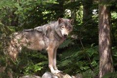 在木头的狼 免版税库存图片