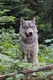 在木头的狼 免版税库存照片