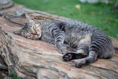 在木头的睡觉猫 免版税库存图片
