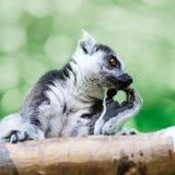 在木头的秀丽狐猴 库存图片