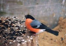 在木头的红腹灰雀用在额嘴的玉米 免版税库存照片