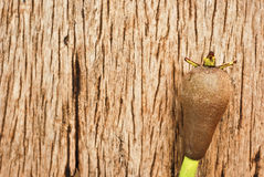 在木头的美洲红树种子 免版税库存图片
