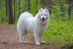 在木头的萨莫耶特人狗 免版税库存照片