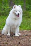 在木头的萨莫耶特人狗 库存照片