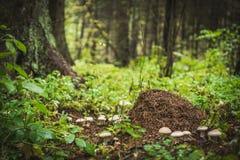 在木头的蚂蚁小山 库存图片