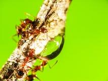 在木头的蚂蚁立场 免版税库存照片