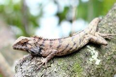 在木头的蜥蜴在香港 免版税图库摄影