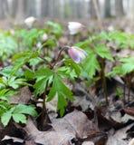 在木头的银莲花属在早期的春天 免版税图库摄影