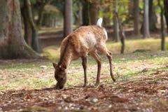 在木头的鹿 图库摄影