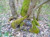 在木头的绿色青苔 库存图片
