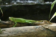 在木头的绿色鬣鳞蜥 免版税库存照片