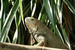 在木头的绿色鬣鳞蜥 免版税图库摄影