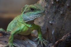 在木头的绿蜥蜴 免版税库存照片