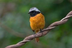 在木头的Daurian Redstart (男性) 图库摄影