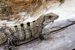 在木头附近的变老的海滩灰色鬣鳞蜥&# 库存图片