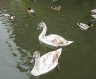 在未成熟的全身羽毛的Signets 免版税库存图片