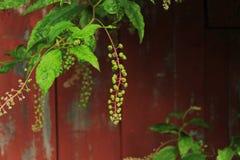 在未成熟的商陆莓果群的底部的雨珠 免版税库存图片