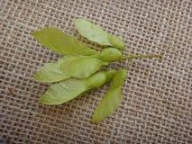 在未成熟的branchlet的南美树种子 库存图片