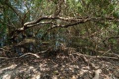 在未损坏的Farasan海岛上的美洲红树森林在吉赞省,沙特阿拉伯 库存照片