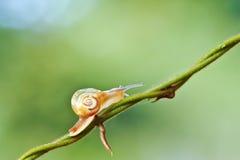 在本质背景的一只蜗牛 免版税库存图片