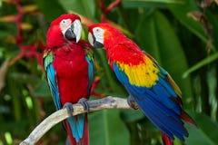 在本质的绿翅鸭和猩红色金刚鹦鹉 免版税图库摄影