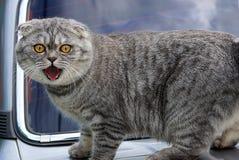 在机器的敞篷的灰色猫有开放嘴的 图库摄影