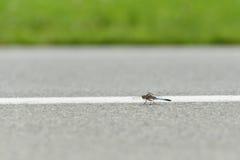 在机场跑道的蜻蜓 免版税库存照片