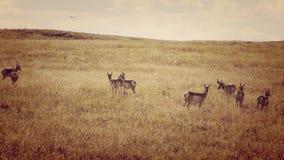 在机场附近的羚羊牧群 免版税库存图片
