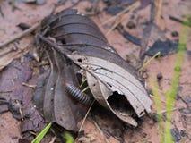 在朽烂叶子的千足虫尾巴 图库摄影