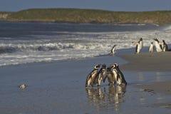 在杂乱的一团的Magellanic企鹅 库存照片