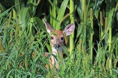 在杂草的一只白尾鹿小鹿 库存照片