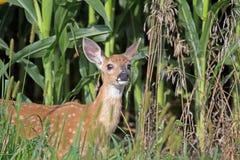 在杂草的一只白尾鹿小鹿 免版税库存图片