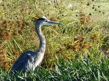 在杂草的伟大蓝色的苍鹭的巢 免版税库存图片