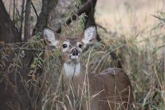 在杂草的白尾鹿小鹿 库存照片