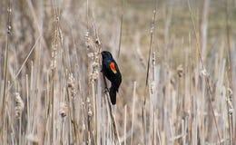 在杂草的美洲红翼鸫 免版税库存图片