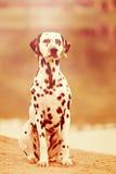 在杂草的达尔马提亚狗 库存照片