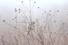 在杂草的麻雀 库存照片