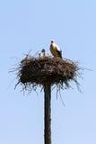 在杆巢的鹳 免版税库存照片