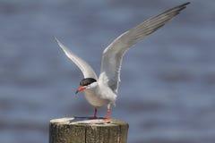 在杆的燕鸥狩猎 免版税库存照片