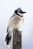 在杆的蓝色尖嘴鸟 免版税库存照片