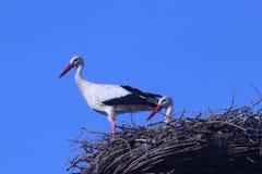 在杆的鹳在Netherlan的艾瑟尔河畔卡佩勒筑巢 免版税库存照片