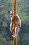 在杆的猴子 库存照片