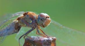 在杆的蜻蜓 免版税库存照片