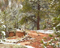 在杉木中的岩石露头 库存图片
