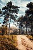 在杉木中的道路 库存图片