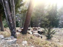 在杉木之间的绵羊 免版税库存照片