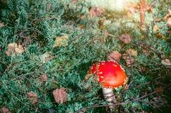 在杉木分支下的红色蘑菇 免版税库存照片