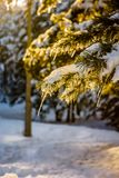 在杉木分支的冰柱 免版税库存图片